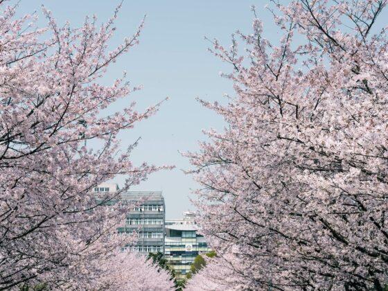 Shanghai Tongji University Kirschblüte