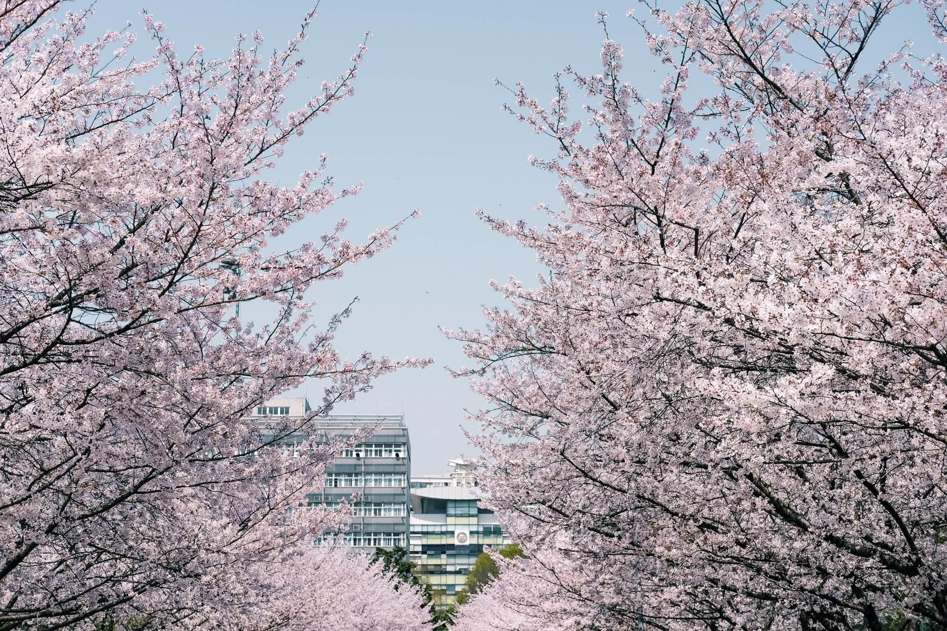 Shanghai´s schönste Parks – nicht nur zur Kirschblüte