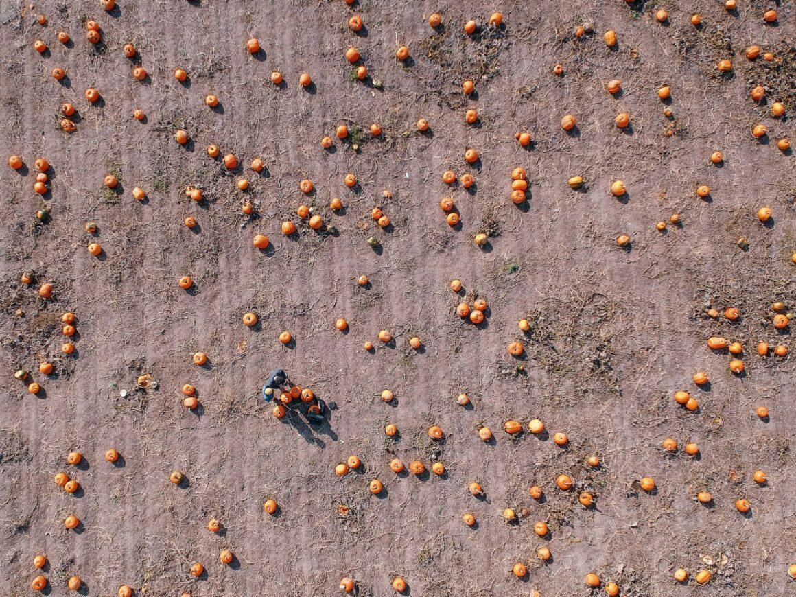 """Sauvie Island ist nicht nur empfehlenswert, um lokal und saisonal einzukaufen. Der """"Pumpkin Patch"""" gleicht fast schon einem kleinen Vergnügungspark, vor allem wenn an den Wochenenden nicht nur Kürbisjäger und -sammler unterwegs sind, sondern auch viele Familien. Das ist allerdings kein Wunder, denn nach Sauvie Island locken mehr als genügend Unterhaltungsangebote: Ein Stall mit Esel, Hühnern & Co, sowie Sauvie Islands berühmtes Maislabyrinth oder die hölzerne """"Kuh-Eisenbahn"""" etc. verwandeln die Farm in einen riesigen Spielplatz für Groß & Klein. Ein Café mit Außenbereich, verschiedene Essensstände, der Pumkin-Souvenirshop und zu guter Letzt die kostenfreien Fahrten auf Heuwagen laden Besucher dazu ein mehrere Stunden auf der Farm zu verbringen und so in amerikanische Gepflogenheiten einzutauchen. Sauvie Island isn´t just a great place for good local and seasonal shopping. Especially over the weekends the Pumpkin Patch turns into an amusementpark-like areal, when not only pumkin hunters are around but also many families with kids. And I can totally understand why: The animal barn, their famous huge corn maze, a ´cow train´ and many more activities turn the farm into a huge playground. The patio cafe, various food booths, the Pumpkin Perk Coffee, the Pumpkin Cottage Gift Shop and last but not least free hayrides out into the pumkin field invite visitors to spend a couple of hours around the farm and dive into a real American Pumpkin Patch experience."""