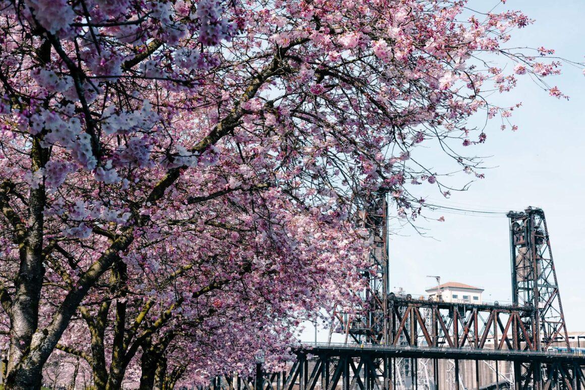 Cherry Blossom Portland Oregon