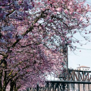 Cherry Blossom Portland Oregon